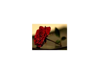 Photo Small Red Rose 2 Flower