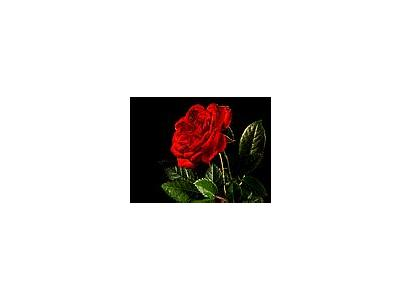 Photo Small Red Rose 3 Flower