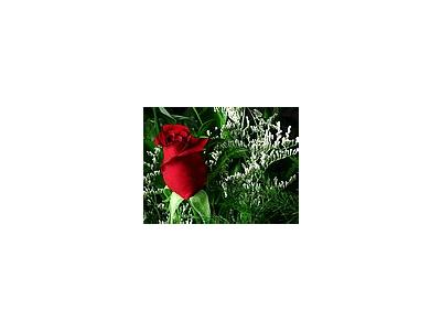 Photo Small Red Rose 4 Flower