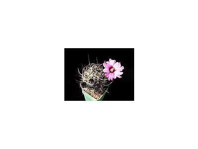 Photo Small Cactus 39 Flower