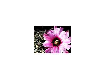 Photo Small Cactus 40 Flower