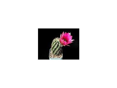Photo Small Cactus 42 Flower