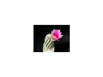 Photo Small Cactus 43 Flower