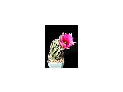 Photo Small Cactus 44 Flower