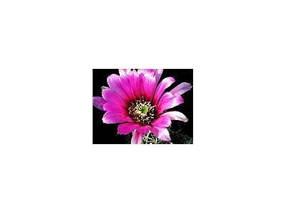 Photo Small Cactus 45 Flower