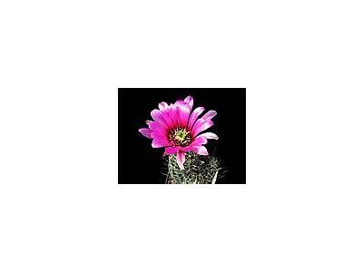 Photo Small Cactus 48 Flower