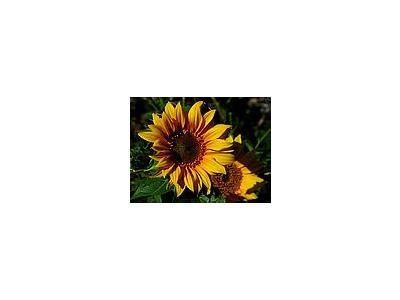 Photo Small Sunflowers Flower