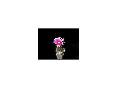 Photo Small Cactus 49 Flower