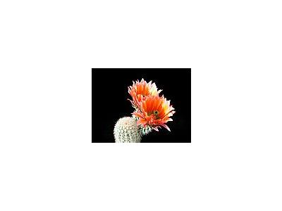 Photo Small Cactus 52 Flower