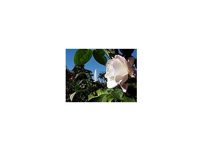 Photo Small White Rose Flower