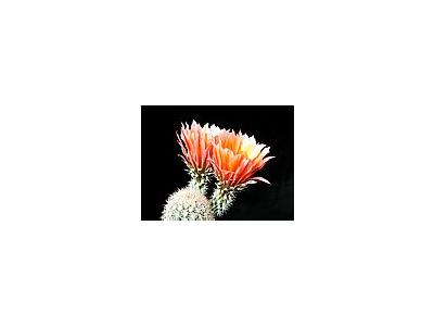 Photo Small Cactus 54 Flower