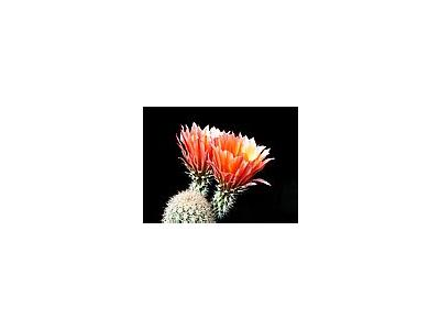 Photo Small Cactus 55 Flower
