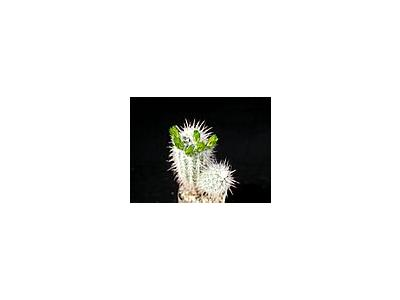 Photo Small Cactus 56 Flower