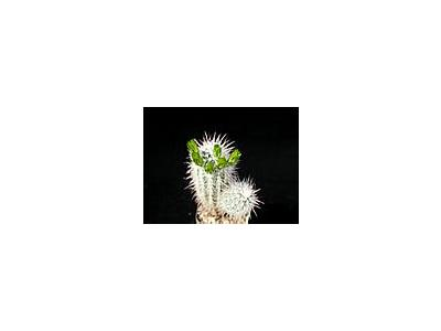 Photo Small Cactus 57 Flower