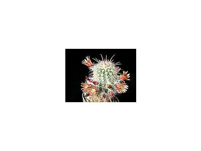 Photo Small Cactus 62 Flower