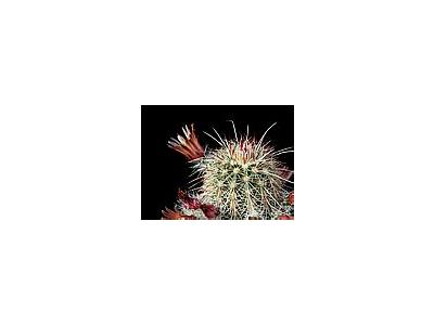 Photo Small Cactus 65 Flower