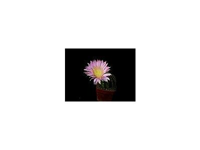 Photo Small Cactus 68 Flower