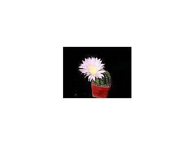 Photo Small Cactus 69 Flower