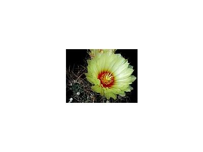 Photo Small Cactus 7 Flower