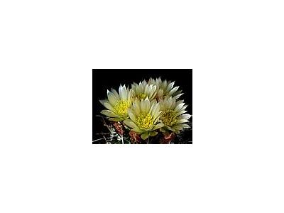 Photo Small Cactus 72 Flower