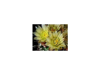 Photo Small Cactus 73 Flower