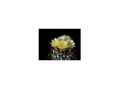 Photo Small Cactus 74 Flower