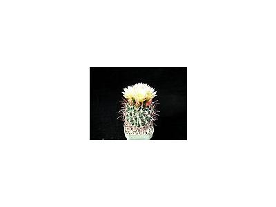 Photo Small Cactus 75 Flower
