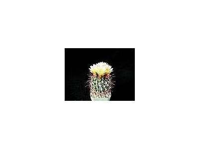 Photo Small Cactus 76 Flower