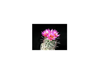 Photo Small Cactus 78 Flower