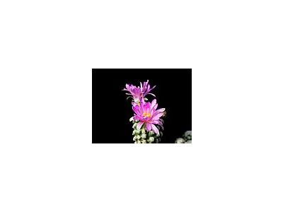 Photo Small Cactus 8 Flower