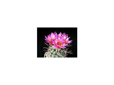 Photo Small Cactus 81 Flower