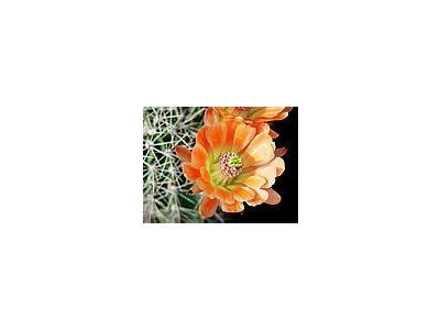 Photo Small Cactus 83 Flower