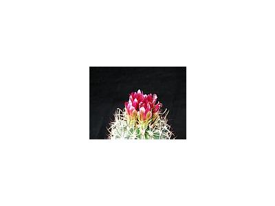 Photo Small Cactus 89 Flower