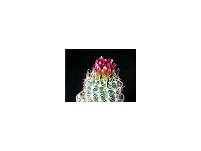 Photo Small Cactus 91 Flower