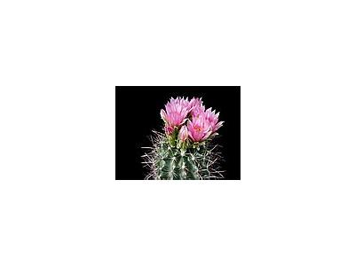 Photo Small Cactus 93 Flower