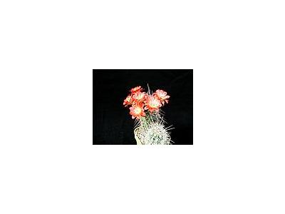 Photo Small Cactus 98 Flower