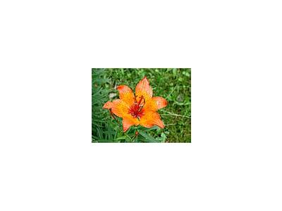 Photo Small Lily 2 Flower