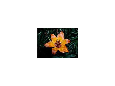 Photo Small Lily 4 Flower
