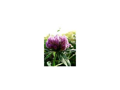 Photo Small Red Clover Flower