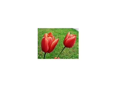 Photo Small Red Tulips Flower