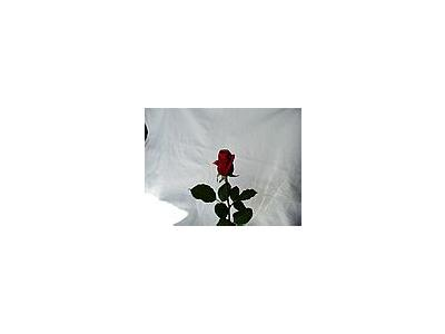 Photo Small Rose 19 Flower