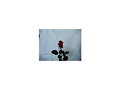 Photo Small Rose 31 Flower