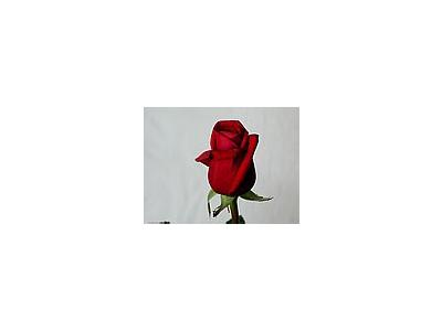 Photo Small Rose 34 Flower