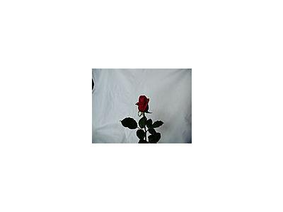 Photo Small Rose 35 Flower