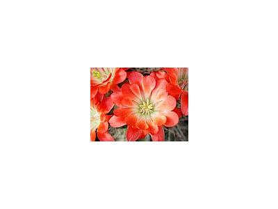 Photo Small Cactus 100 Flower