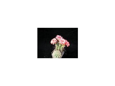 Photo Small Cactus 103 Flower