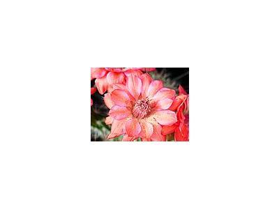 Photo Small Cactus 106 Flower