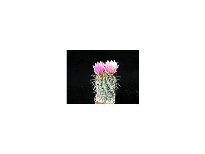 Photo Small Cactus 108 Flower