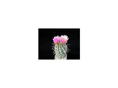 Photo Small Cactus 109 Flower