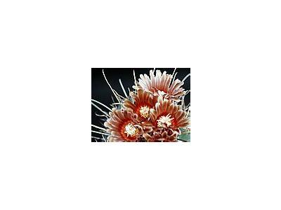 Photo Small Cactus 112 Flower